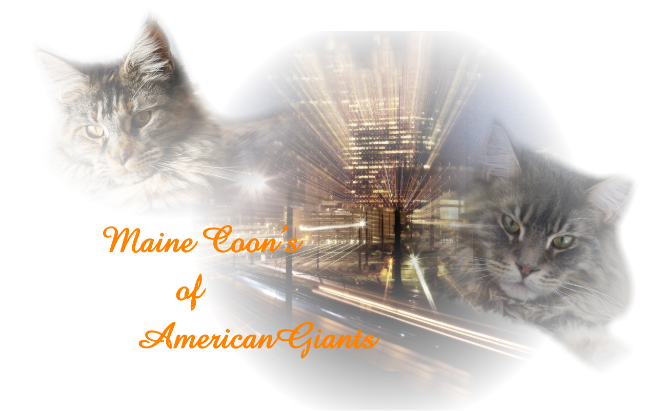 Maine Coon's          of     AmericanGiants